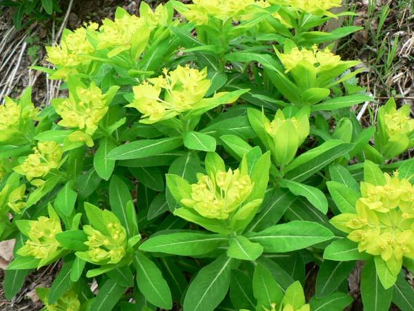 NEERLANDs Tuin  wolfsmelk Euphorbia